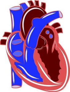 heart and arteries
