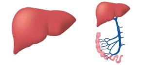 diagram of a human liver