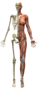 human muscles and bones
