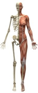 human skeleton and muscular system