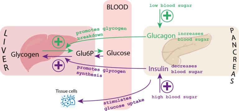 blood glucose diagram