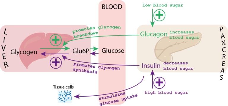 blood glucose diagram