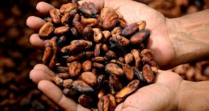 handful of raw cacao beans
