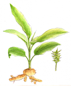 turmeric root and plant