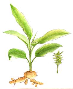 turmeric root plant