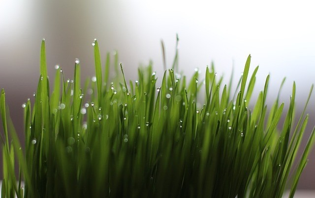 Can You Take Wheatgrass With Food