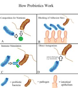 diagram of how probiotics work