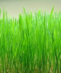 fresh wheatgrass