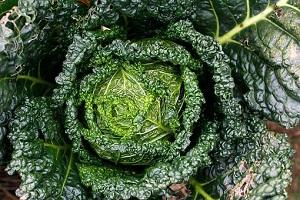 whole savoy cabbage